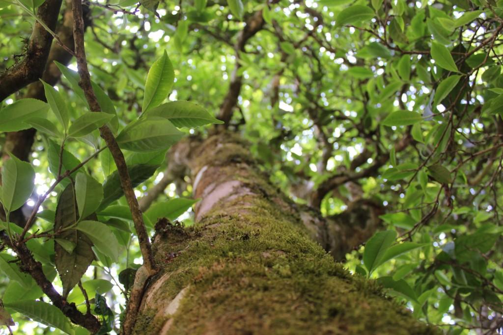 Qianjiazhai's Old Tea Trees