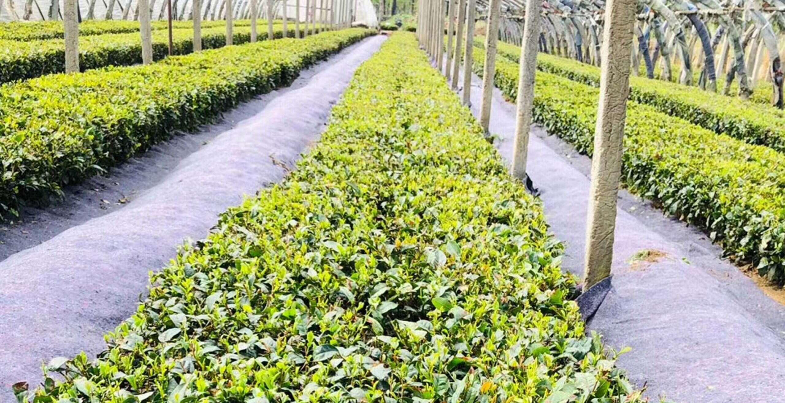 2020 Laoshan Spring Harvests