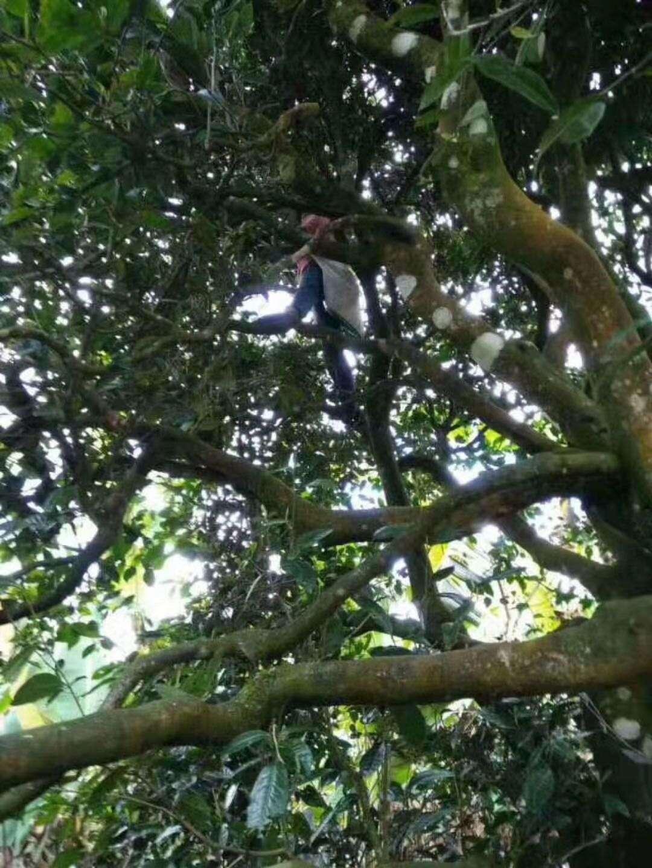 members of the cooperative climb high into a crassicolumna tree
