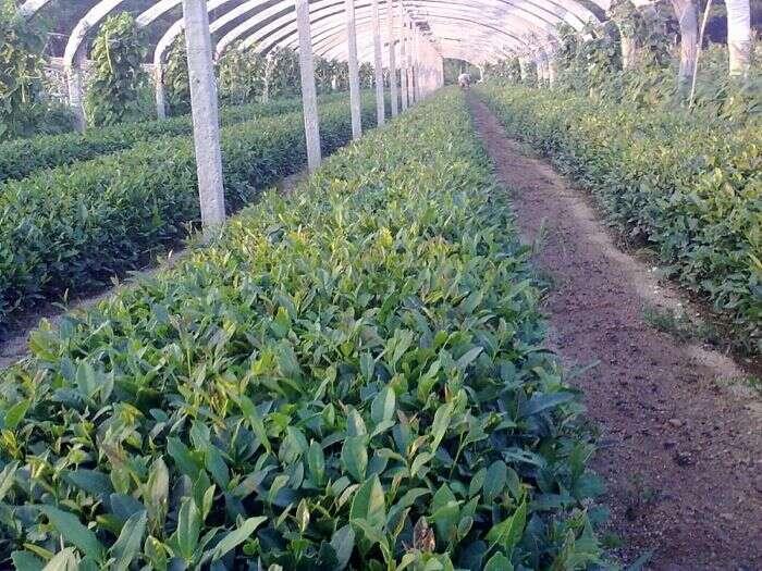 Tea Field in Laoshan Village