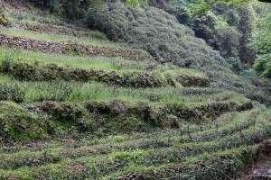 fallow tea field