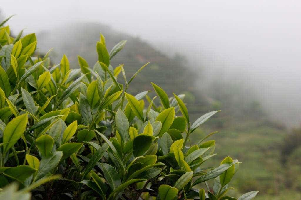 Spring Tieguanyin growing in the mist on the peaks above Daping Village