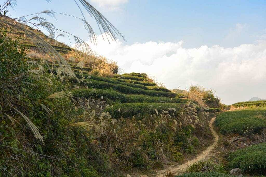 Master Zhang's tea fields on the peaks above Daping Village