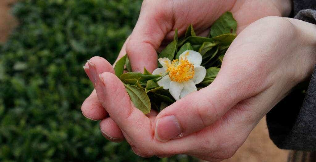 _MG_5042_fresh_laoshan_leaf_flower