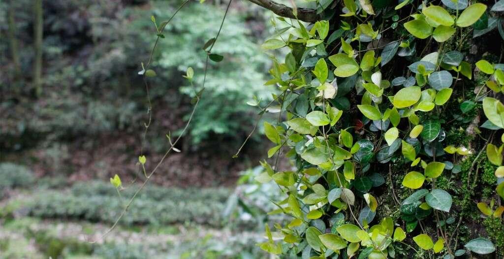 Tea fields and native plants around Longjing