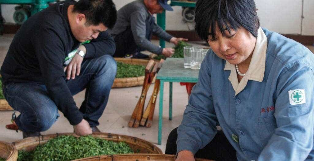 Mrs. He and her son-in-law, Mr. Liu, sort through wilted tea leaves