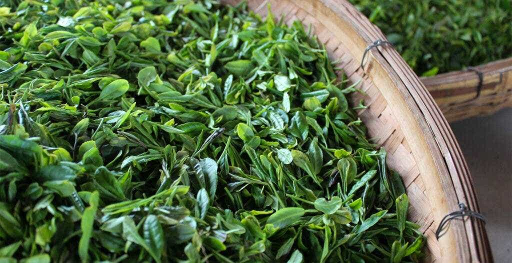 Fresh Laoshan tea leaves in the He Family's workshop