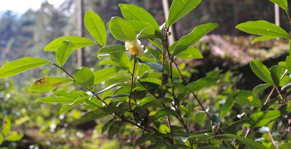 Wild tea plants in Tongmu