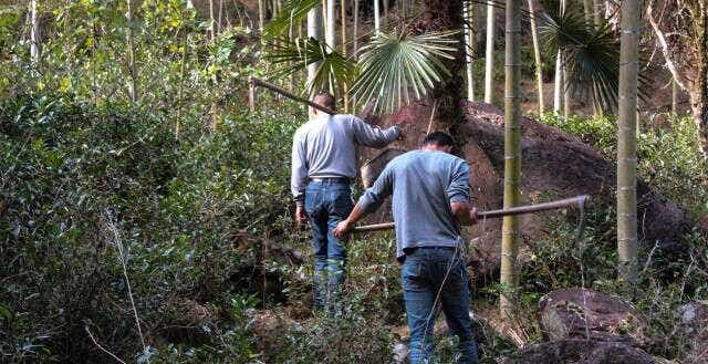 Digging for bamboo in Tongmu helps make room for the wild tea plants