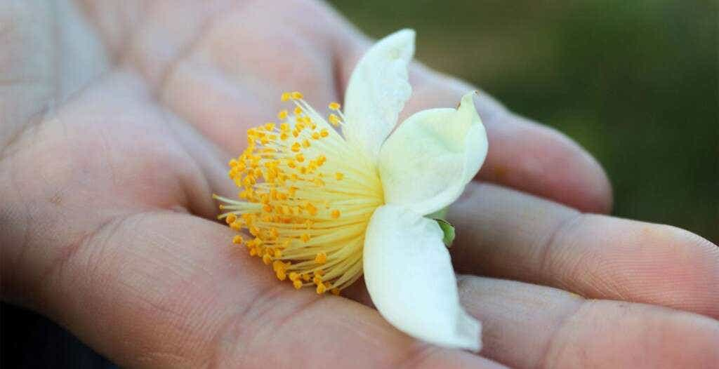 a Shui Xian flower