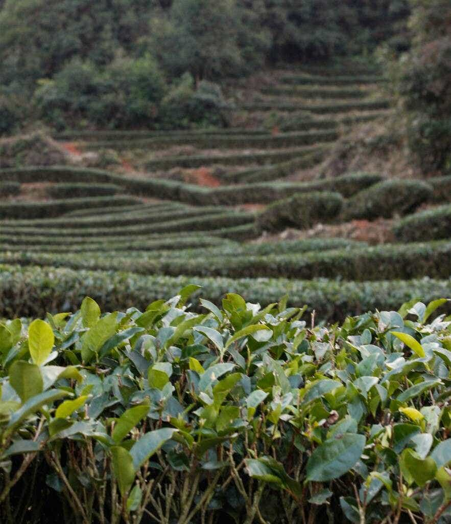 The Li Family's tea plants grow on the shaded hillsides beneath bamboo and pine trees