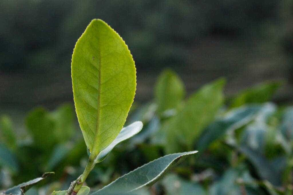 Tea plants grow in the shaded curves of the hillside