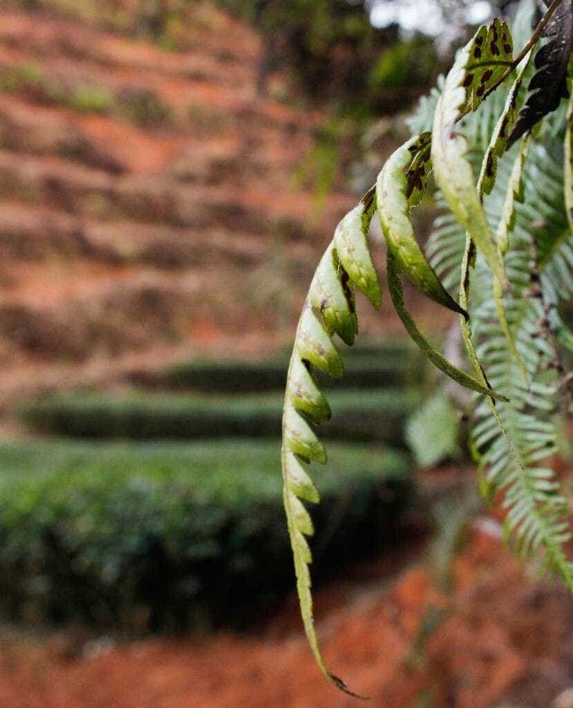 Ferns and other native plants thrive in the shaded hillside among the Li Family's tea fields