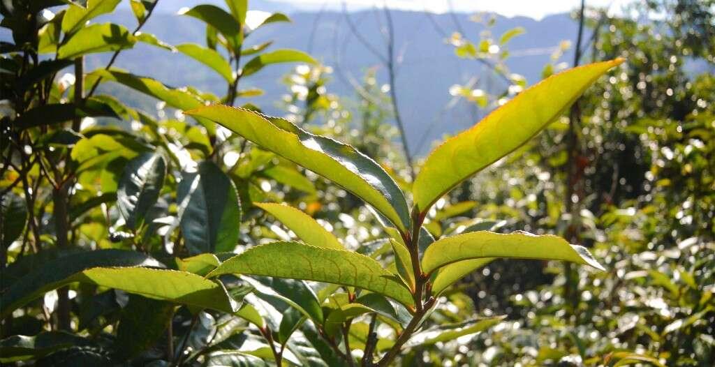 Giant leaves on Qianjiazhai's wild tea trees