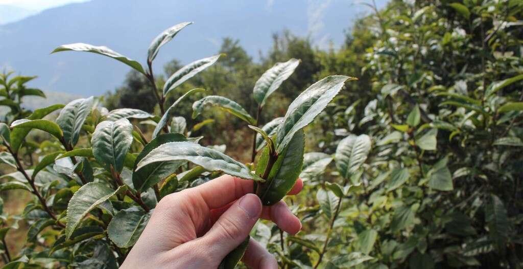 Giant leaves from Qianjiazhai's wild tea trees