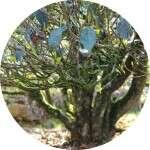 wudongshan-old-tea-tree-circle