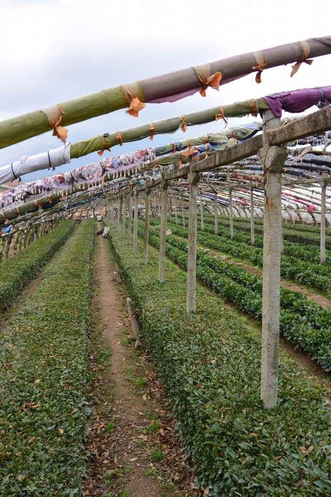 the He Family's autumn tea fields
