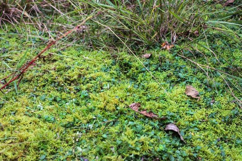 Moss and grasses carpet the ground beneath the tea trees