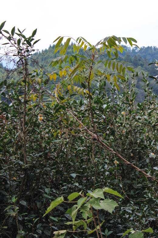 Sumac and other native plants, mosses and flowers grow right alongside the Shui Xian tea trees