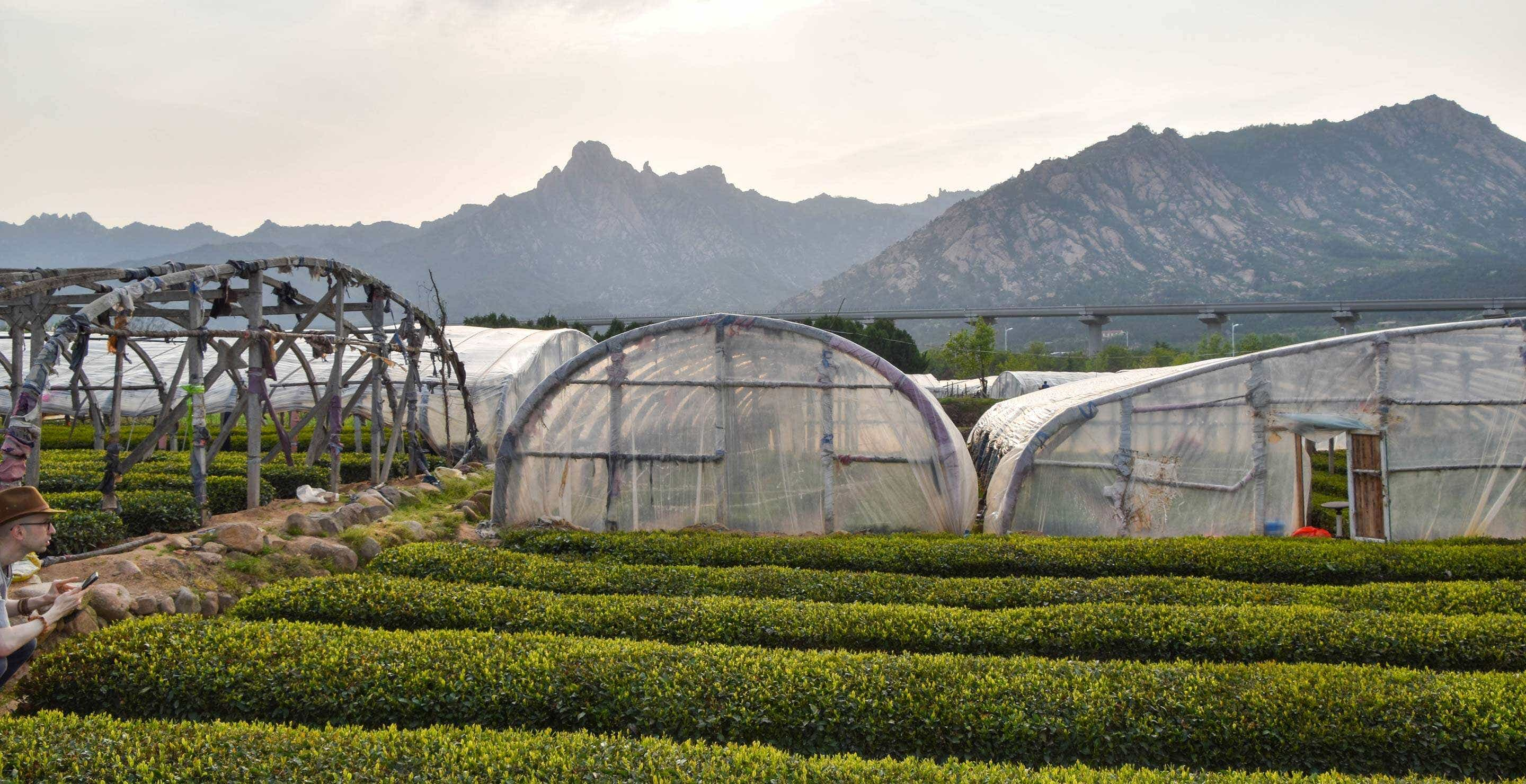 our tea fields in Laoshan // we begin to remove the greenhouse covers in May