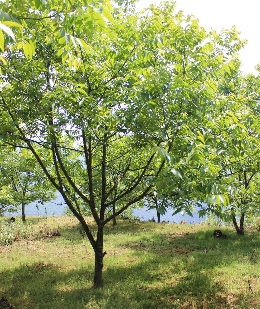 IMG_3135_walnuttrees_qianjiazhai