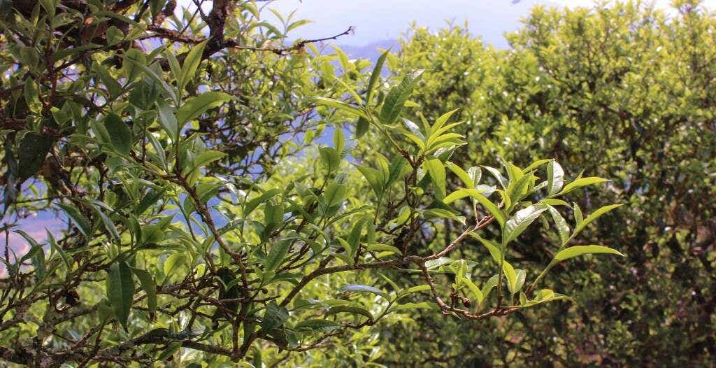 qianjiazhai_artian_tea_tree-3084_largex2