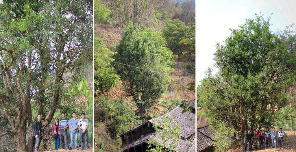 this towering assamica tea tree towers several stories over the Wang family's home