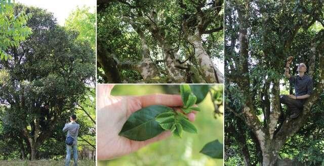 qianjiazhaiblacktea_800trees_1ktrees_grove