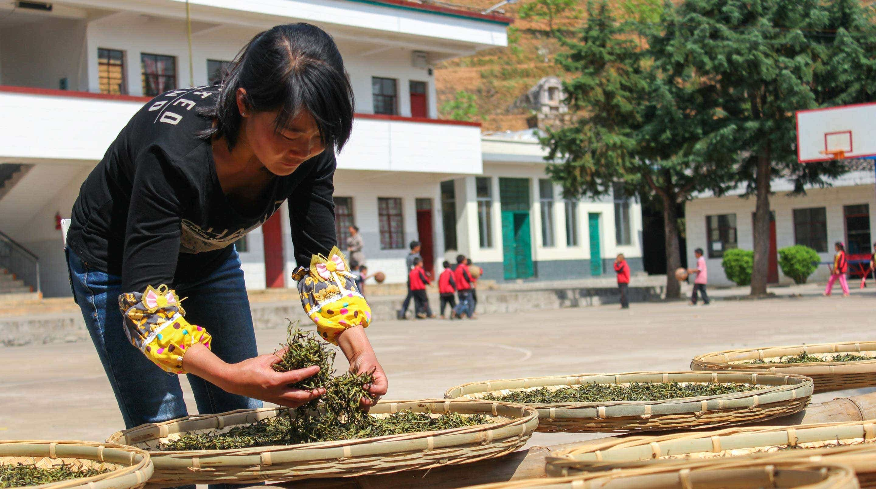 Sun drying spring maocha in the elementary school courtyard