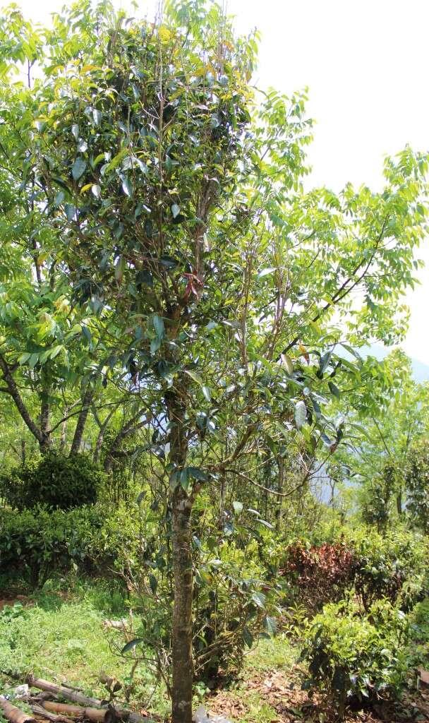 IMG_3385-qianjiazhai-crassicolumna-young-tree
