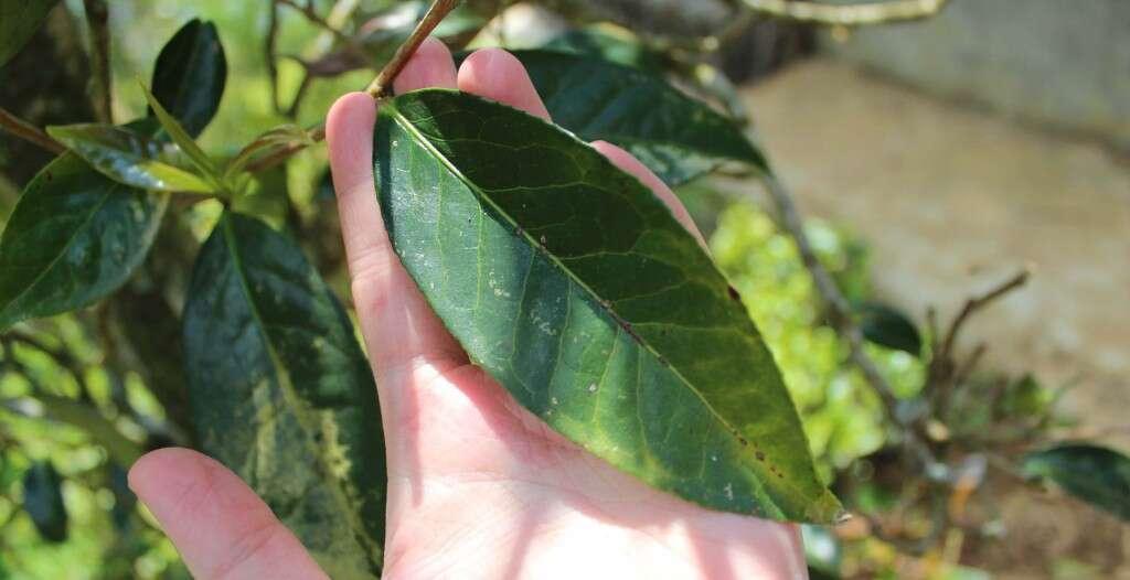 IMG_3386-qianjiazhai-crassicolumna-cultivated-wild-type-large-working-leaf