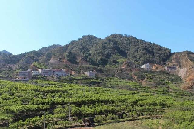 fenghuang-tea-field-8999_large