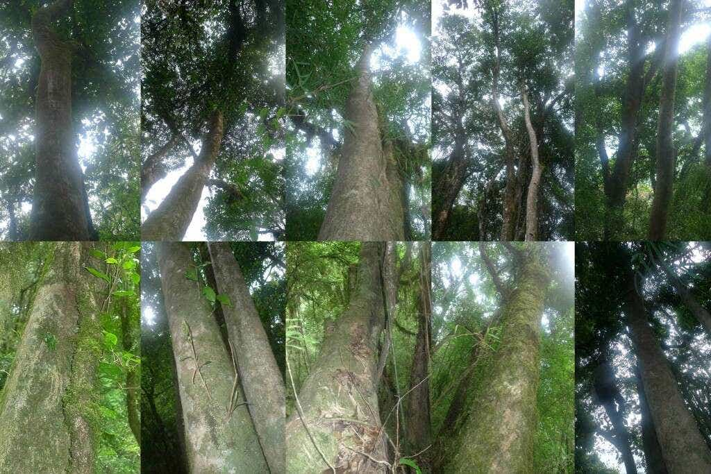 giant Crassicolumna trees towering many stories