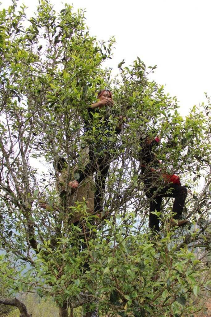 in Qianjiazhai, Ms. Li and her mother climb high into an assamica tea tree