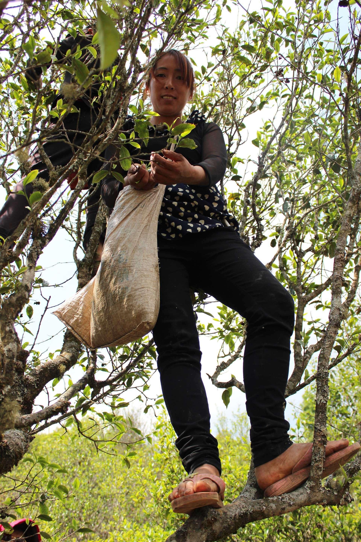 Ms. Li climbs a tea tree in the spring