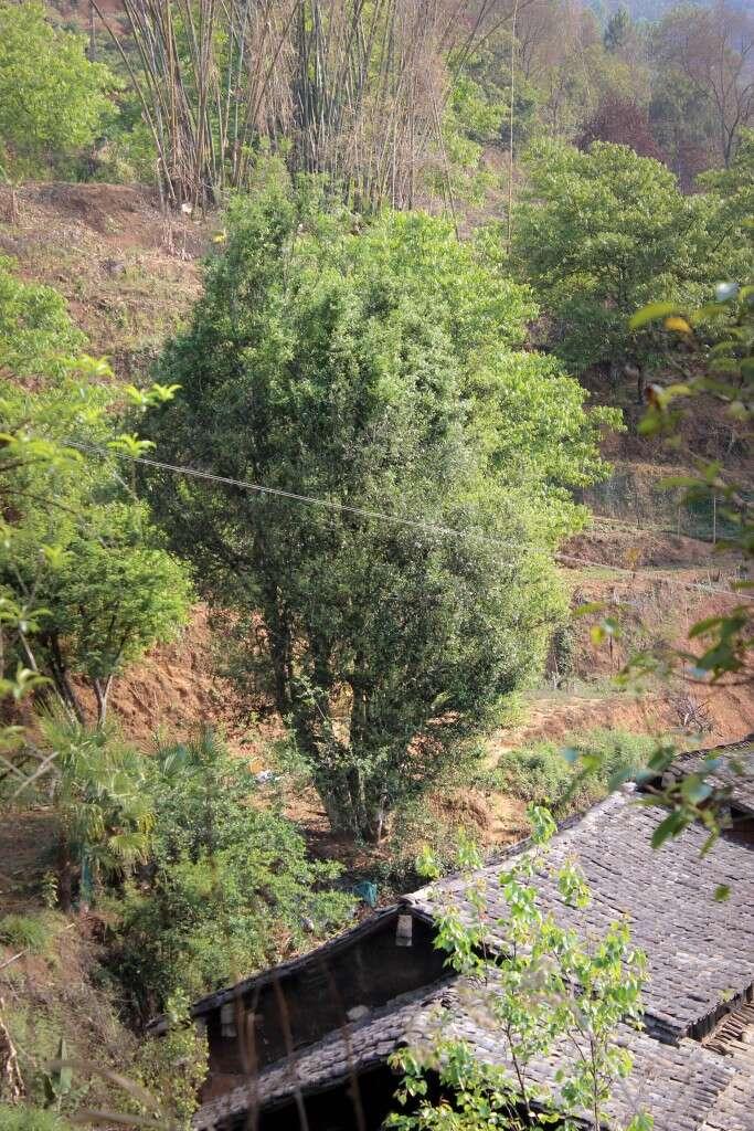 a giant tea tree towers over the Wang Family home
