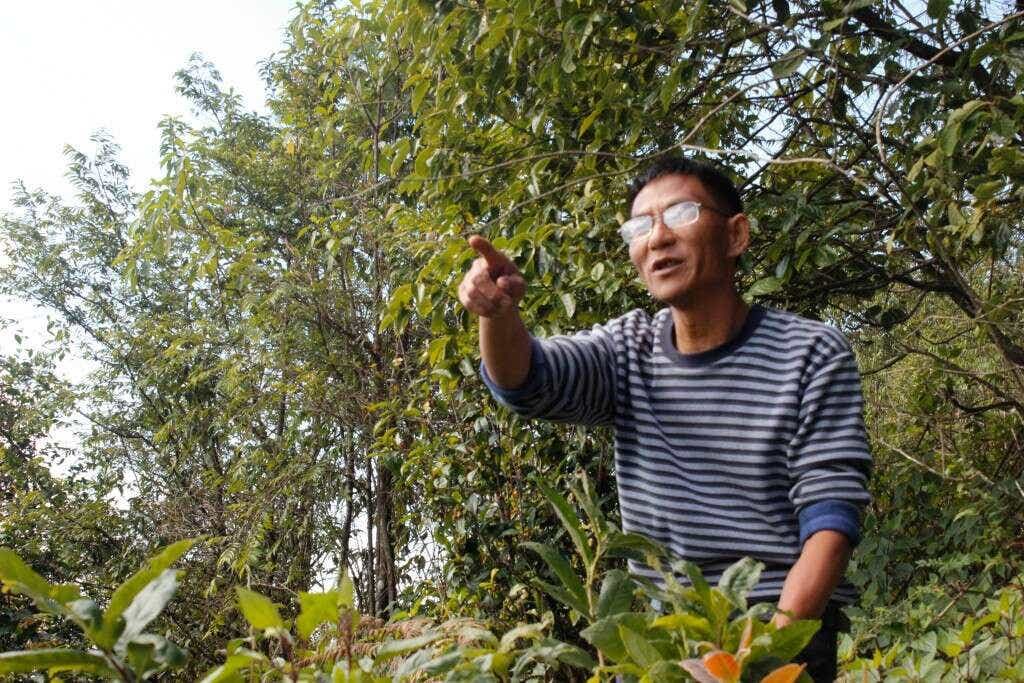 Master Zhou teaches about old tree tea in the Mt Ailao National Forest Preserve.