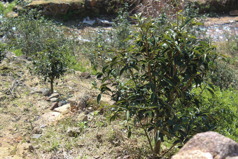 our tea grows as single, individual trees