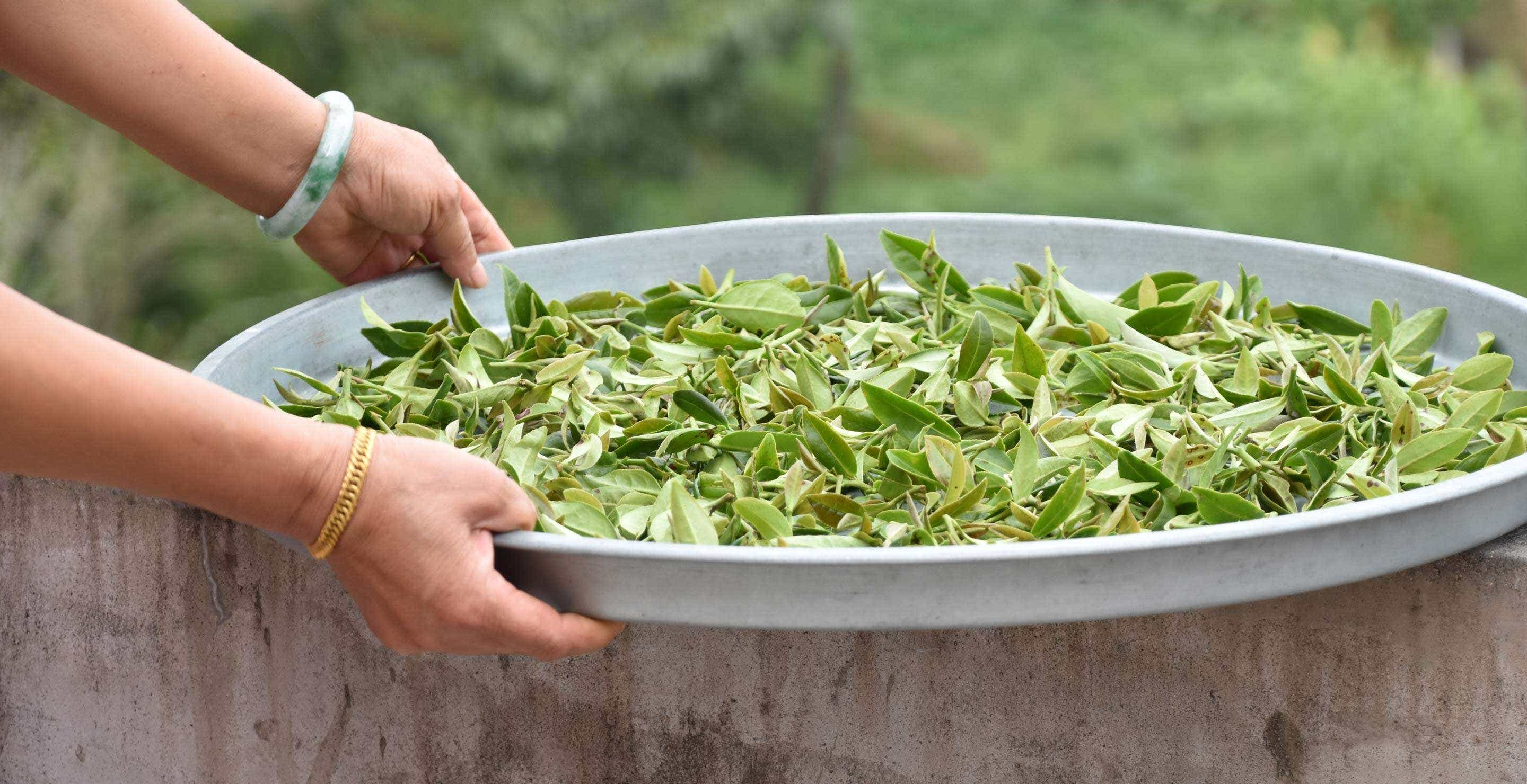 "fresh picked leaves from a small experimental planting of ""red heart"" Tieguanyin"