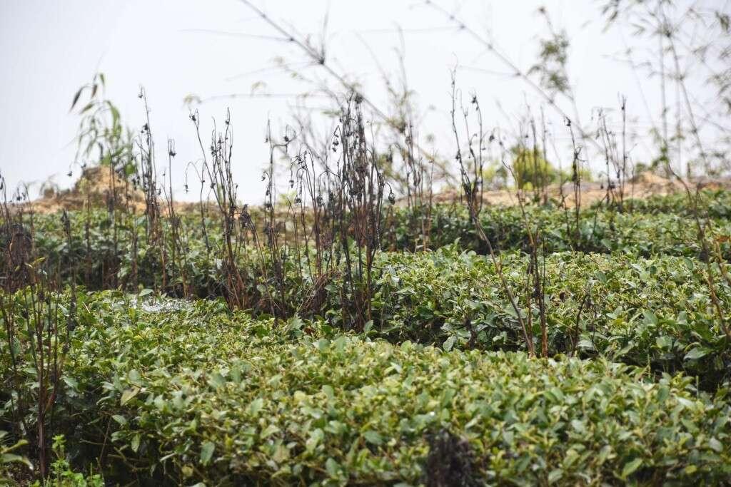 native grasses and canola grow around the Liu Family's tea fields