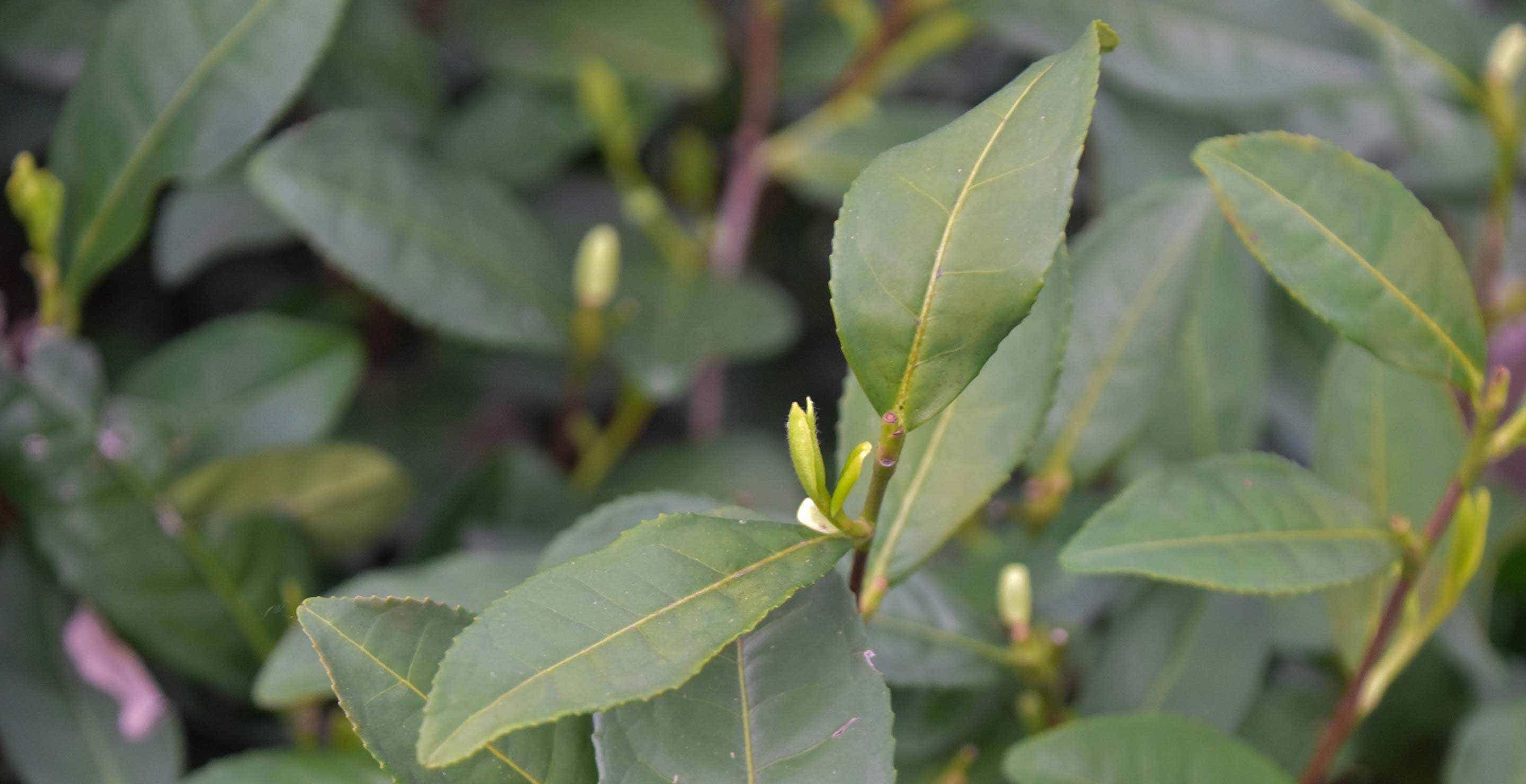 little tea buds growing in the spring