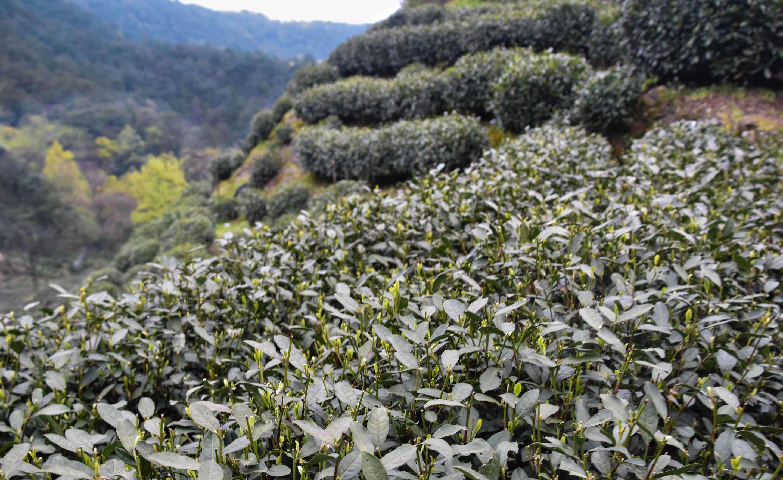 our Longjing #43 tea bushes on Lion's Peak