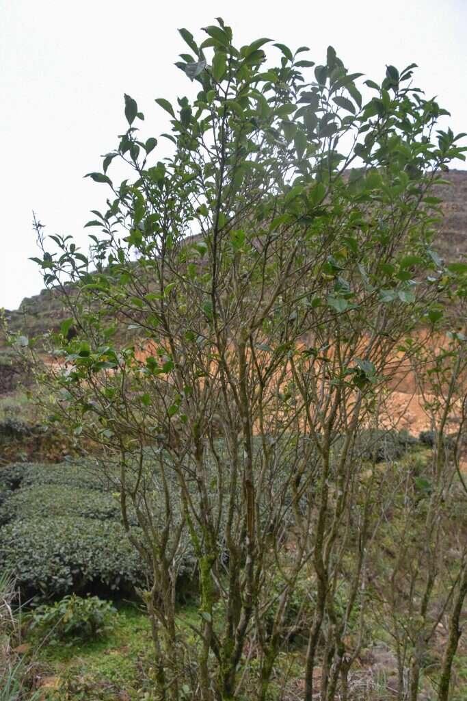 Ba Xian cultivar (sinensis) grow over 7ft tall in Anxi