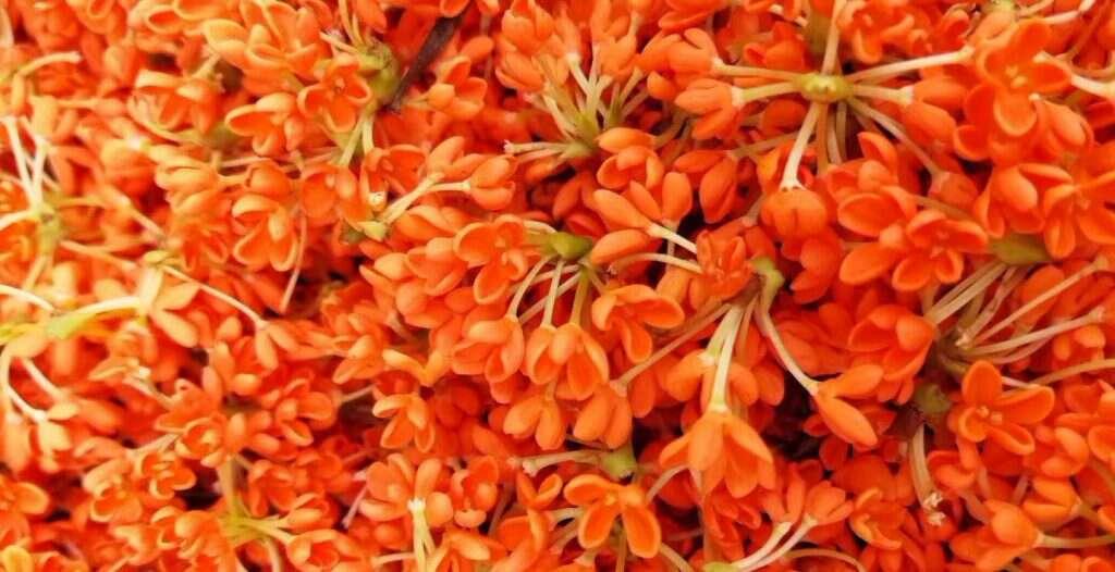fresh picked osmanthus