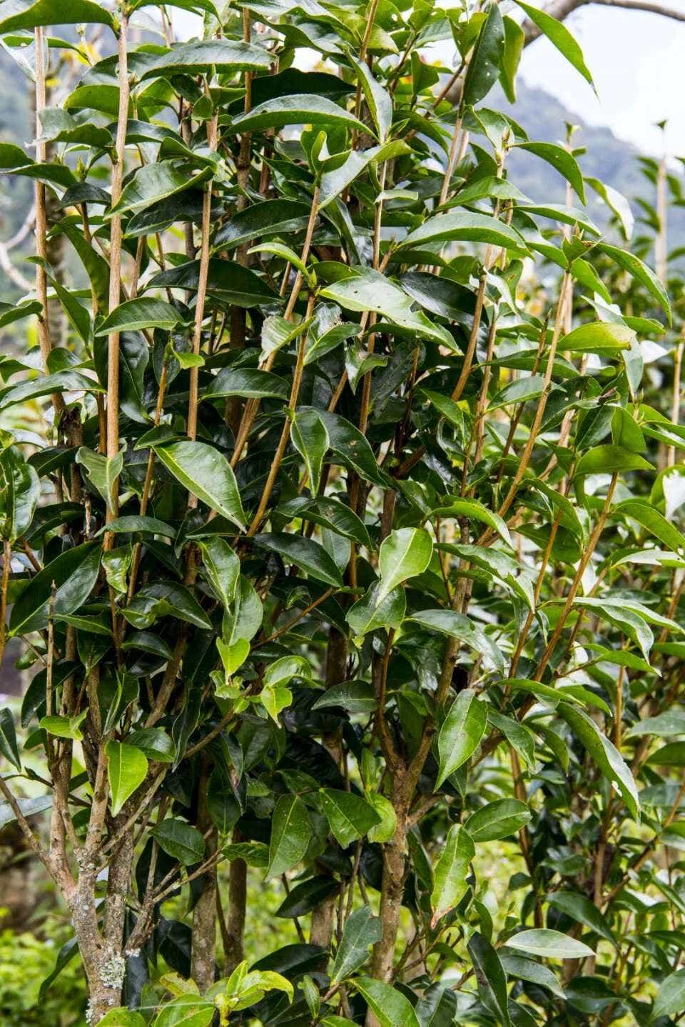 Wild Tea grove; caption / photo credit: Shao Hongyan