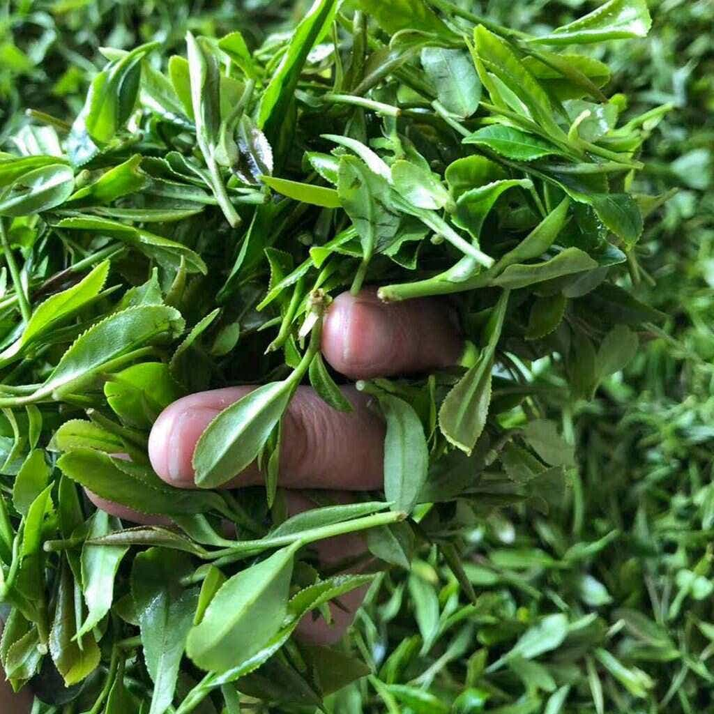 fresh 2018 Laoshan tea // photo courtesy of the He Family