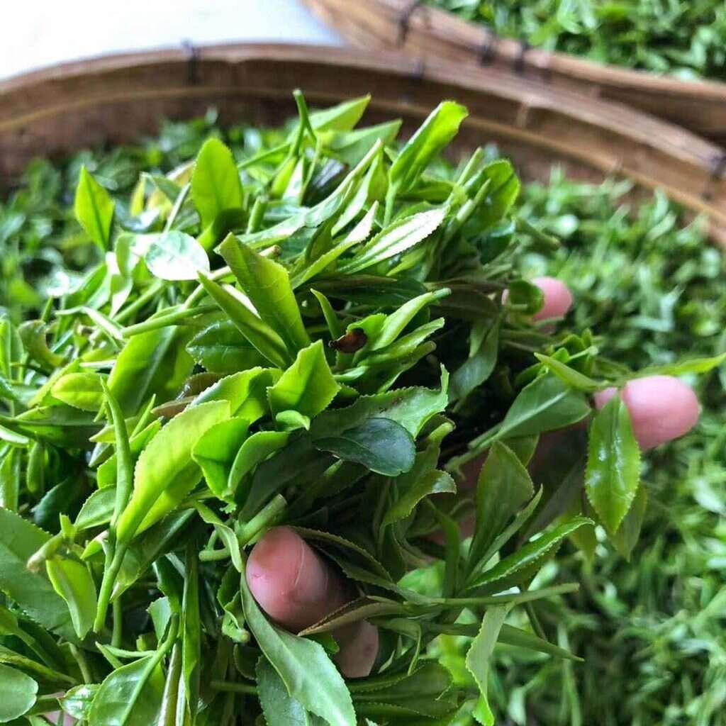 fresh 2018 Laoshan tea // photo courtesy of the He Family