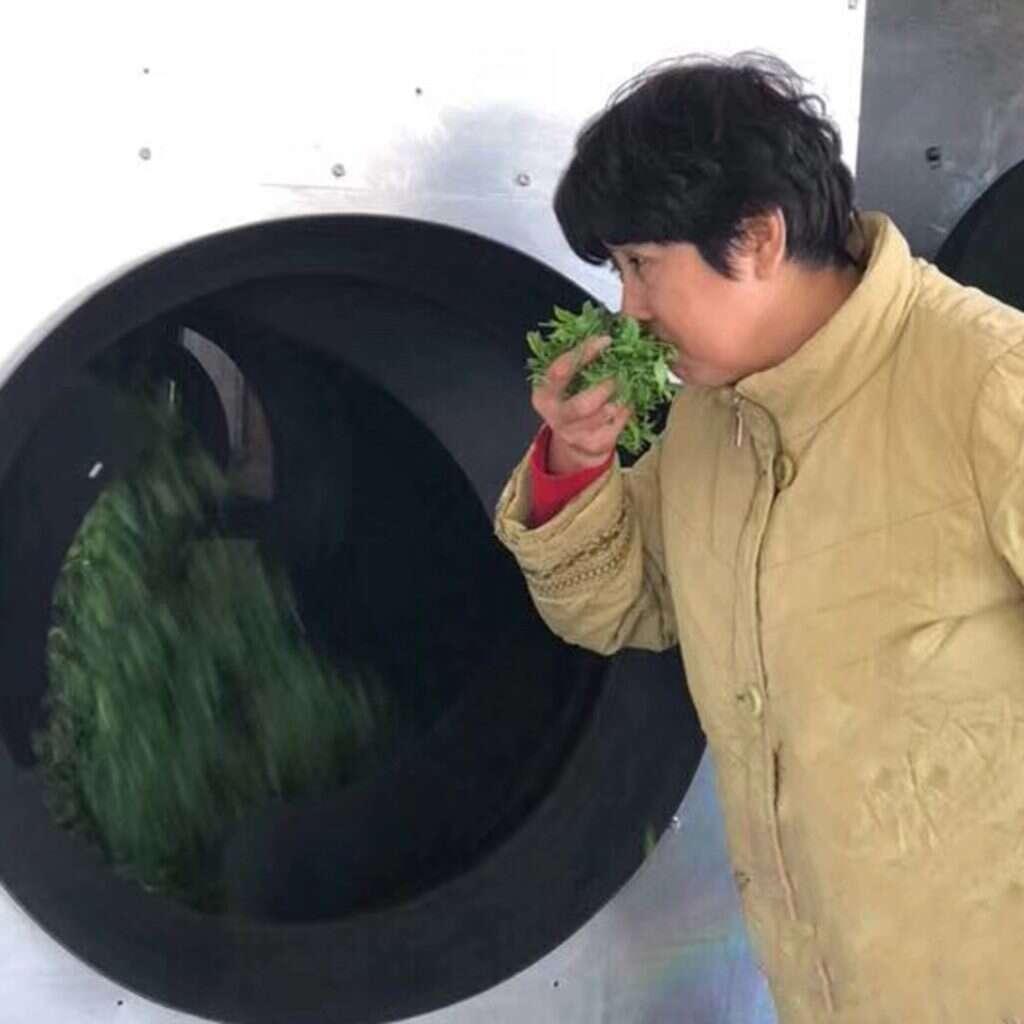 fresh picked 2019 Laoshan tea! photo courtesy of He Qingqing