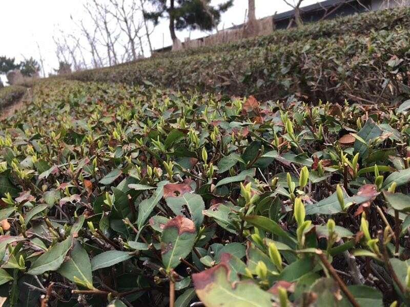 March 2018 tea fields // photo courtesy of Ren Wei Wei