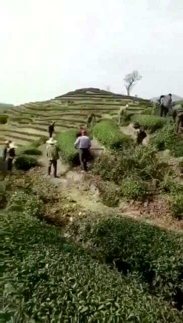 pulling out illegally planted tea hedges, April 2018